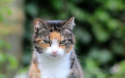 Veterinary Foods for Diabetic Cats